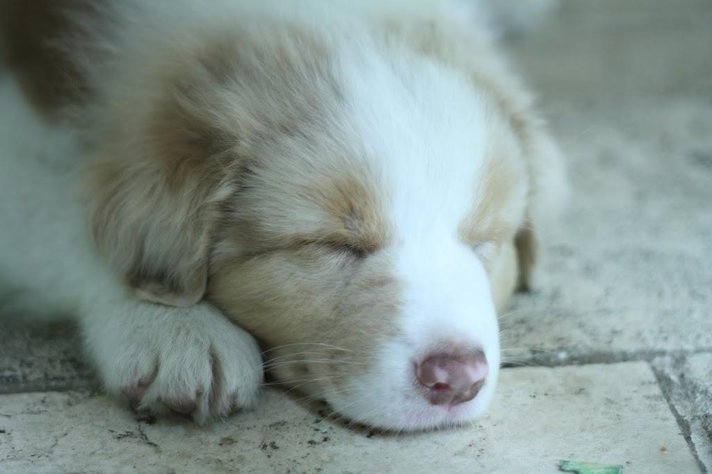 This is Lucas, our Australian Shepherd